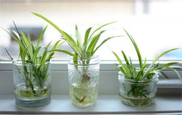 Những cách giúp cây thủy sinh xanh tươi mơn mởn trong nhà