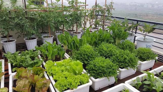 Mùa dịch này, làm thế nào trồng rau xanh, trong căn hộ chung cư của bạn